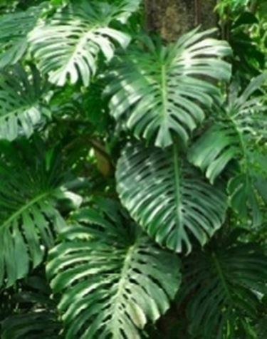 Rampicanti piante da interno rampicanti appartamento for Piante rampicanti sempreverdi