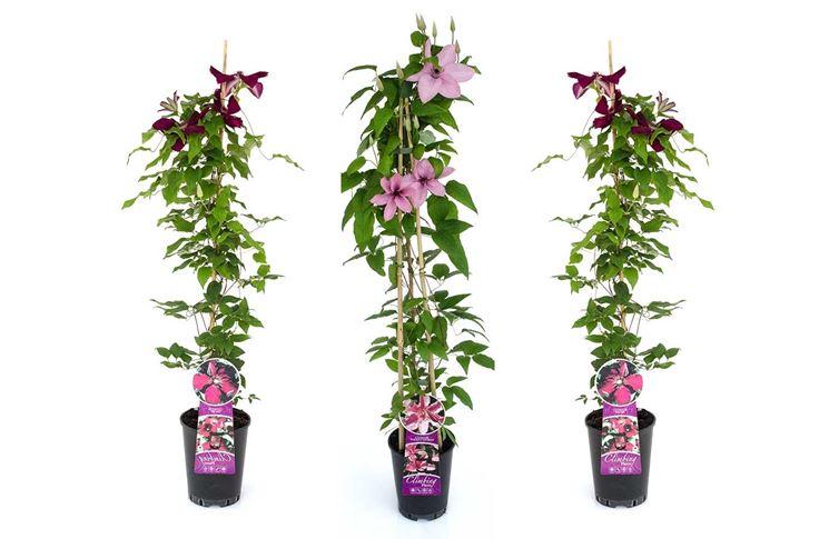 Rampicanti piante da interno rampicanti appartamento for Piante sempreverdi da appartamento