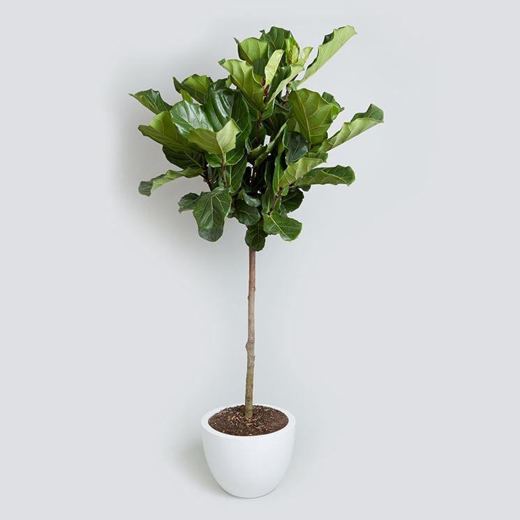 Popolare Regalare piante - Piante da interno - Regalare piante - Appartamento VE93