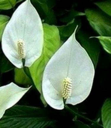Spatifillo - Spathiphyllum - Spathiphyllum - Piante da ...