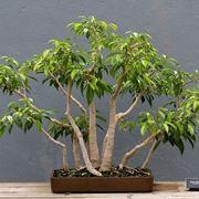 bonsai ficus benjamin
