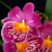 come rinvasare le orchidee