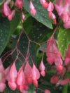 "Begonia corallina"""