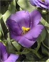 Eustoma grandiflorum""