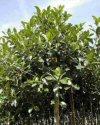 """Ficus australis"""""""