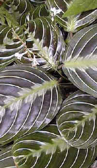 Maranta consigli forum di for Maranta pianta