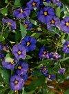 """Solanum aviculare"""""""