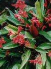"Stromanthe sanguinea"""