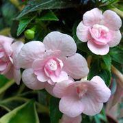 fiori Achimenes