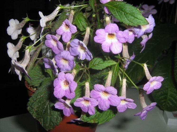 pianta achimenes