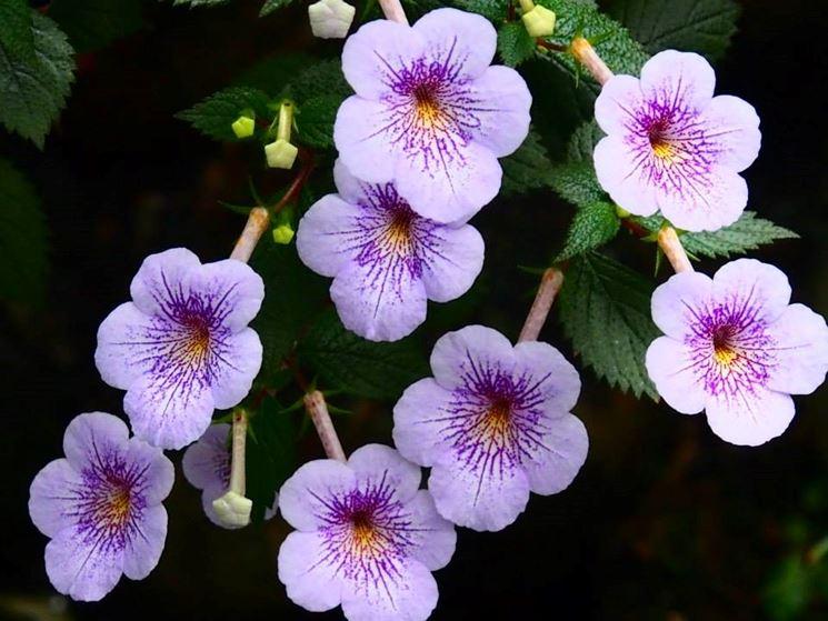 achimenes fiori