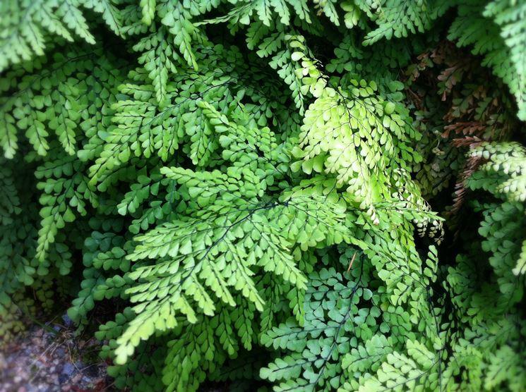 foglie adiantum