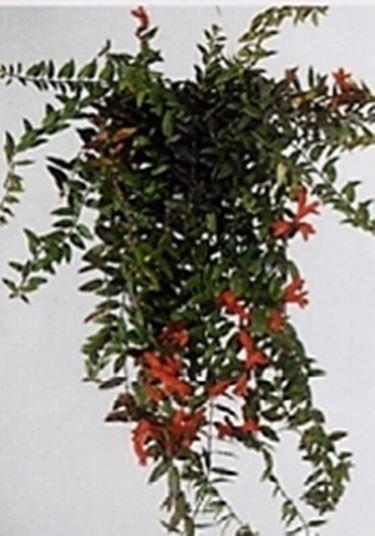 Eschinanthus aeschynanthus speciosus aeschynanthus - Piante grasse da esterno pendenti ...
