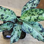 Aglaonema pictum pianta