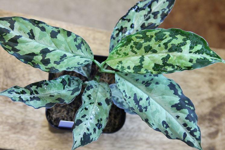 Aglaonema pictum pianta