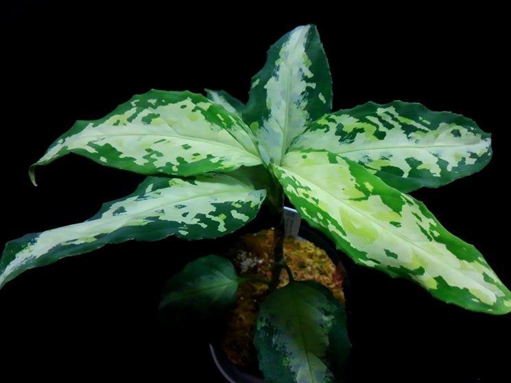 pianta aglaonema pictum