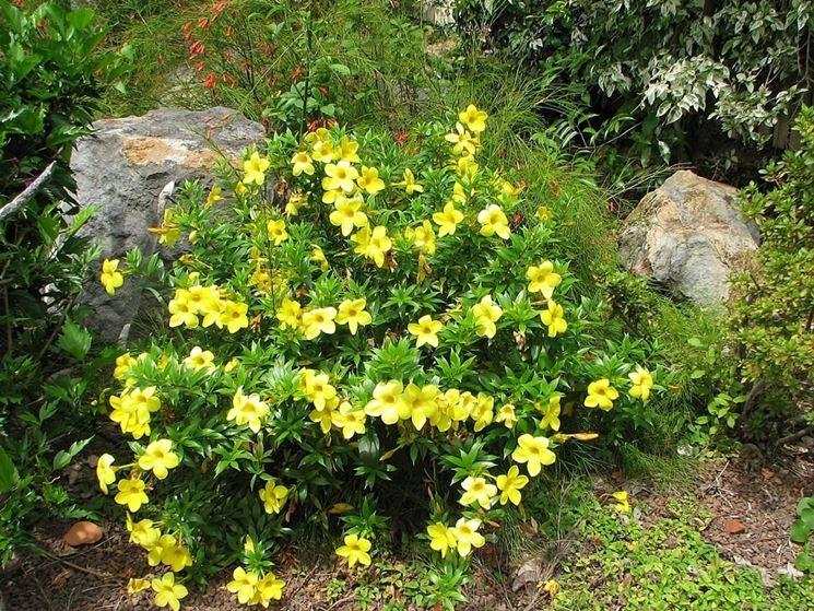 pianta Allamanda cathartica