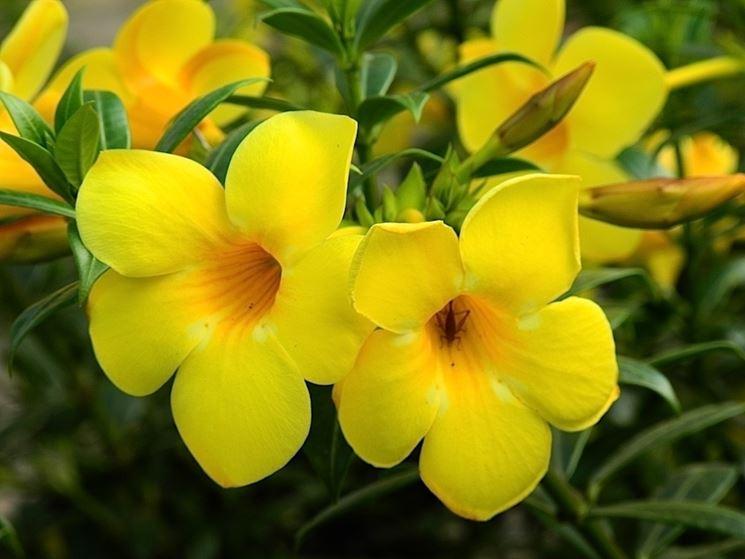 fiori allamanda