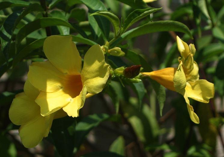 allamanda cathartica fiori