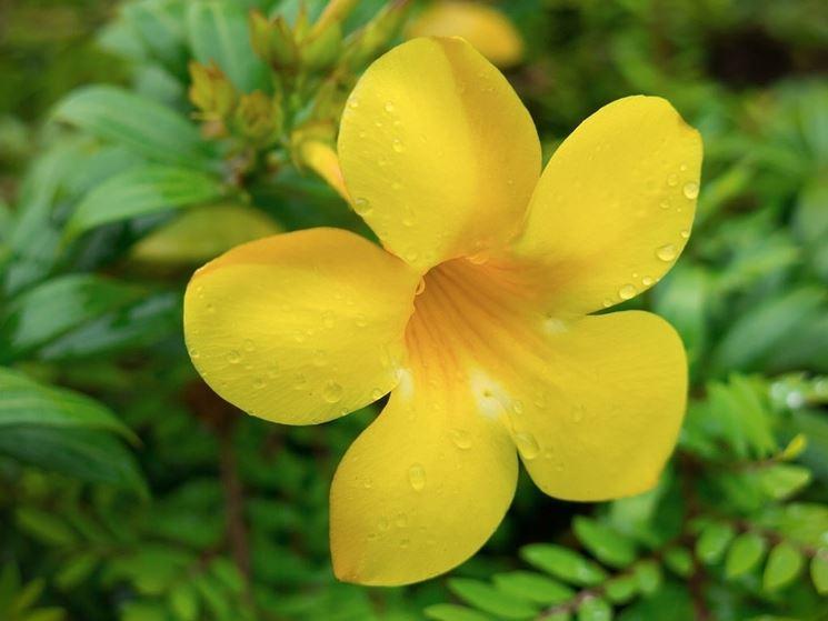 fiore allamanda