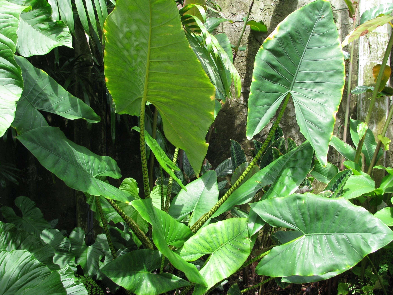 Piante Da Appartamento Orecchie Di Elefante.Orecchie Di Elefante Alocasia Macrorrhiza Alocasia Macrorrhiza