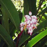 Alpinia zerumbet fiore