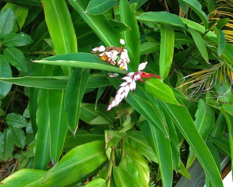 pianta alpinia zerumbet
