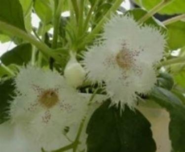 fiori Alsobia
