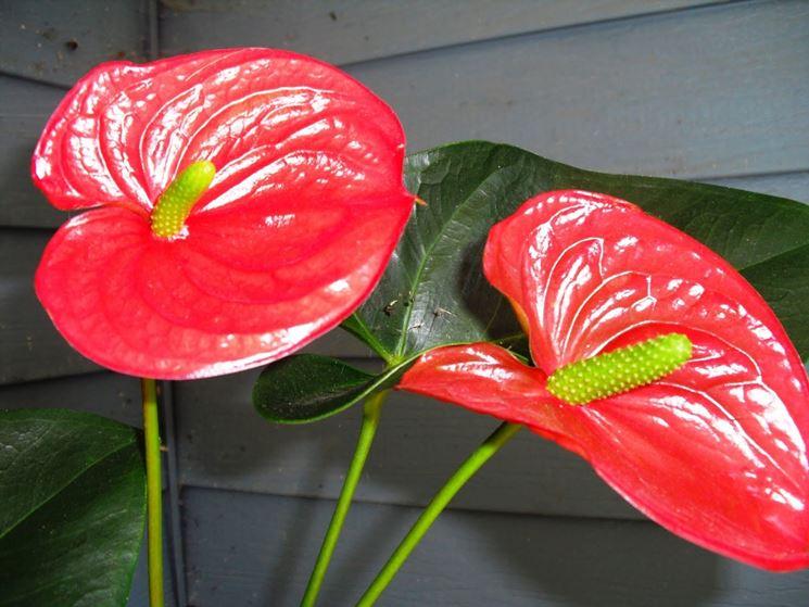 fiori Anthurium andreanum