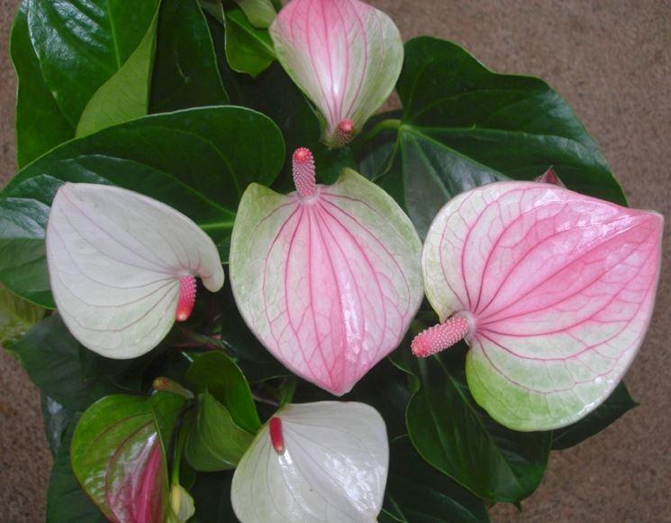 anturium fiori