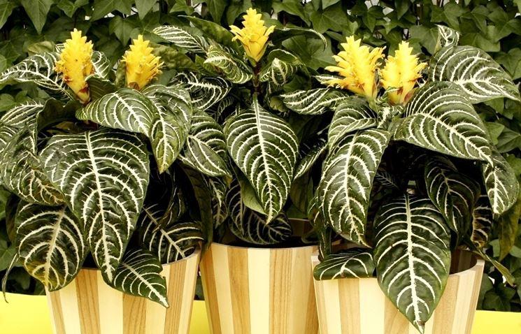piante afelandra