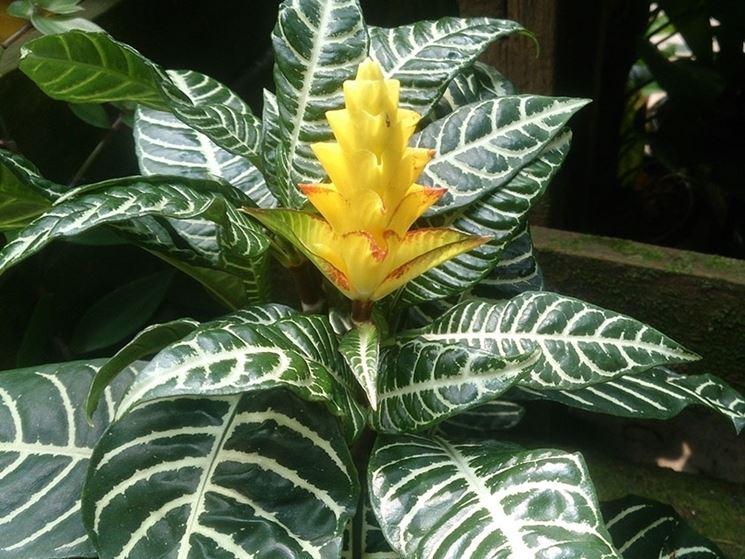 aphelandra squarrosa pianta