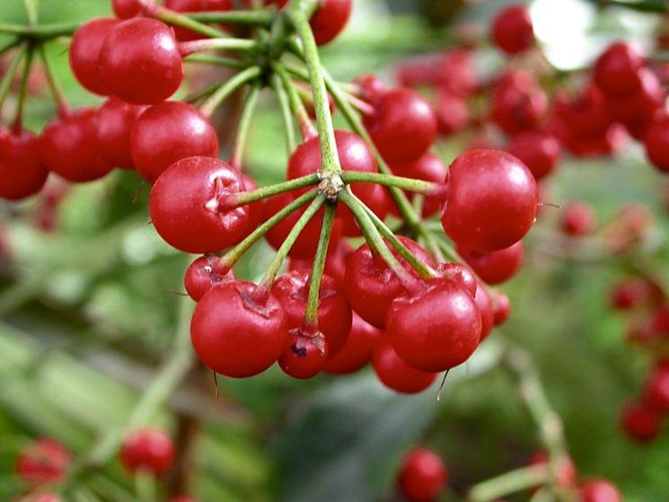 frutti ardisia crenata