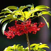 ardisia pianta