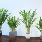 piante Areca