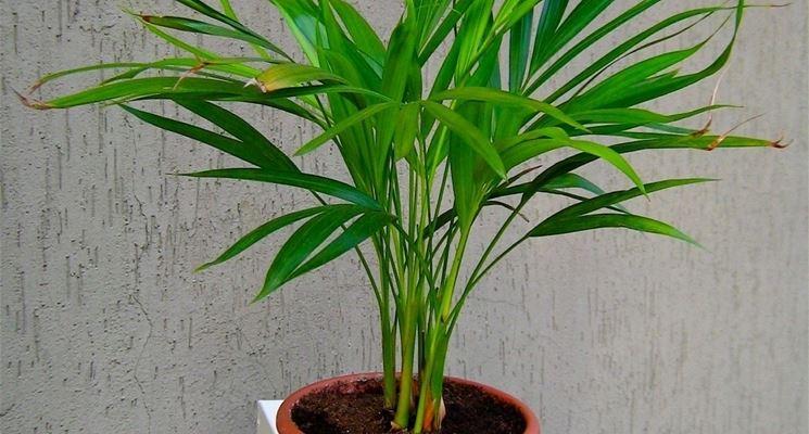 pianta di areca in vaso