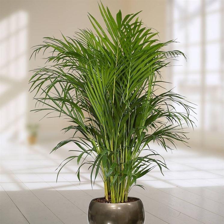 Areca pianta