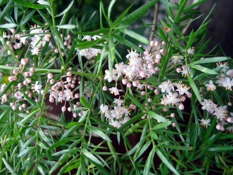 fiori asparago