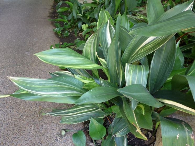 foglie Aspidistra