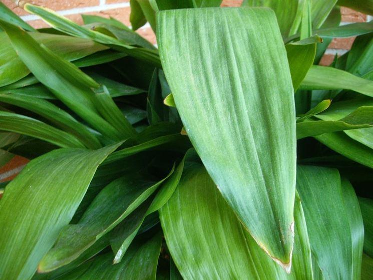 pianta Aspidistra