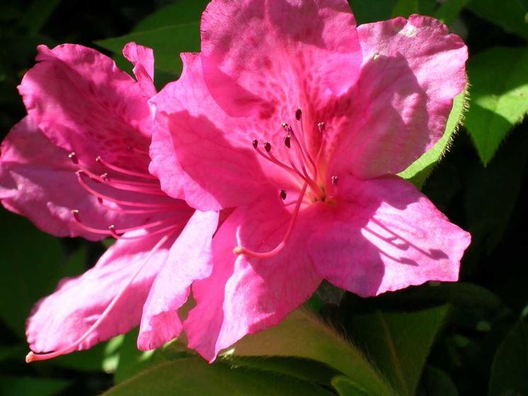fiore azalea indica