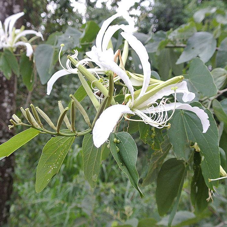 Bauhinia pianta