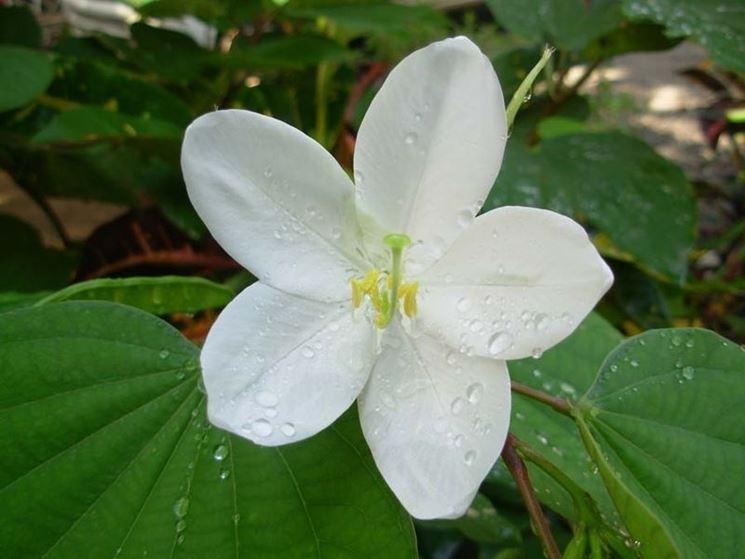bauhinia acuminata