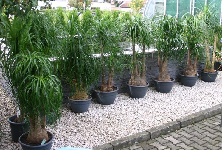 Nolina  piante