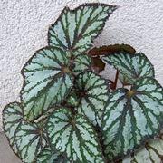 begonia argentata
