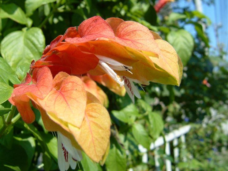 fiori beloperone guttata