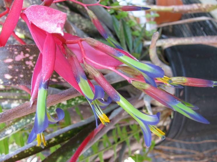 Billbergia fiore