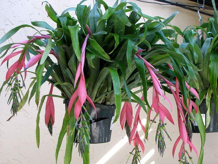 pianta Billbergia