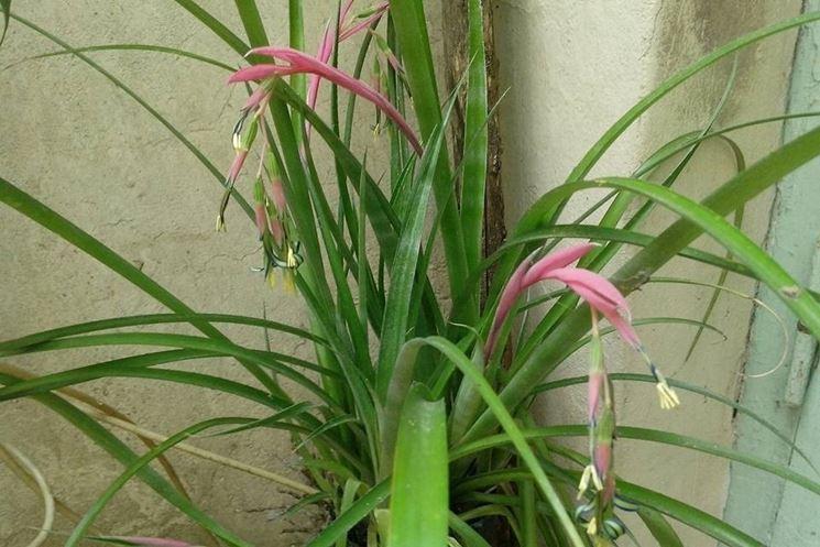 billbergia pianta