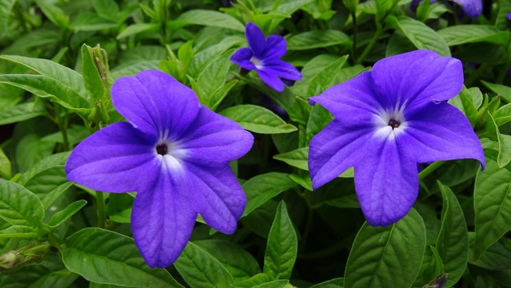 fiori browallia